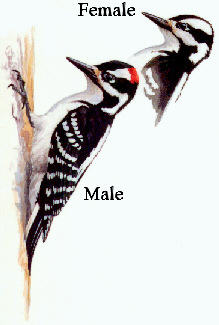 Hairy Woodpecker Picture